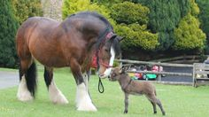 Uncle Buster the shire horse meets the newest addition at the Miniature Pony Centre