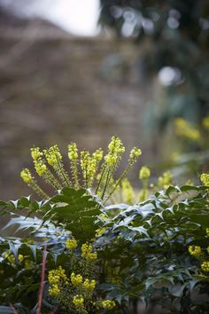 Far Above Witches Gulf Dappled Sunlight >> 20 Best Mahonia For The Winter Garden Images Evergreen Shrubs