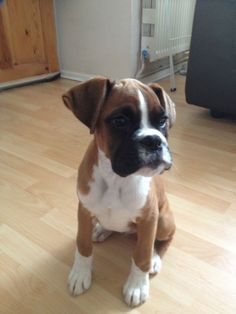 Boxer Puppies For Sale In Wisconsin Cute Puppies