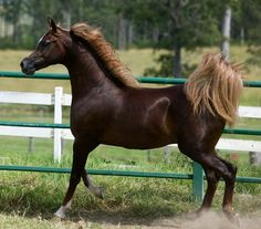 """Lomani ERA"" liver chestnut Arabian  This Arabian reminds me of my mare. She will be 31 yrs old in February. Still struts around the pasture."