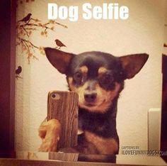 100 Chihuahua Memes That'll Make You Laugh Harder Than You Should Funny Dog Memes, Funny Animal Memes, Funny Dogs, Cute Dogs, Funny Animals, Cute Animals, Dog Humor, Animal Fun, Pet Memes