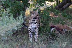 Female Leopard and her cub with Impala kill, Kanana camp - Ker & Downey Botswana