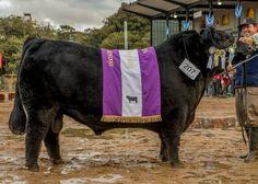 Gracias al enorme trabajo de todo el equipo, por primera vez, un macho Angus de Los Murmullos se corona en Palermo. ¡Don Alfredo es el Reservado Gran Campeón! Cabaña Los murmullos pertenece al Grupo Insud cuyo CEO es Hugo Sigman.