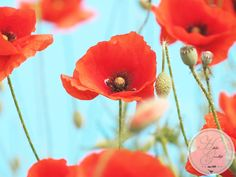 As long as there are red poppies - life should go on Red Poppies, To Go, Plants, Life, Lawn And Garden, Plant, Planting, Planets