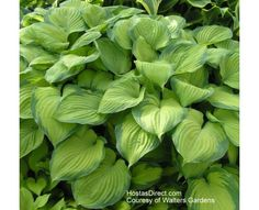 """Hosta 'Guacamole'  Rated #4. Med (24""""). Will flourish with some direct sun. Beautiful, fragrant white blossoms bloom mid-late summer"""