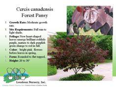 Forest Pansy Redbud, this is a purple foliage version of a classic redbud, a bit more sensitive then its original variety, choose planting location with care