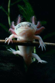 """And all this time I thought """"axolotl"""" was just a MAD Magazine word. It's a s… - Animals Cool Sea Creatures, Beautiful Sea Creatures, Animals Beautiful, Unusual Animals, Majestic Animals, Underwater Creatures, Underwater Life, Water Animals, Deep Sea Animals"""