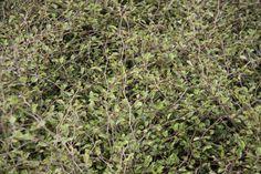Carpodetus prostrata, Groundcover, H x W: 1 x 1.2m, white flowers in Spring