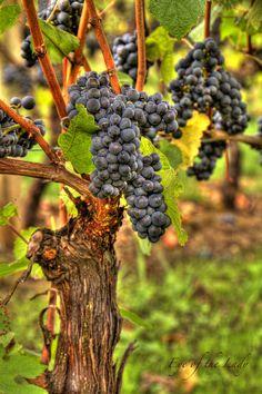 HDR - Pinot Noir Grapes