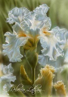 Garden Pearl - Irises, 5in x 7in, watercolor on board, ©Rebecca Latham