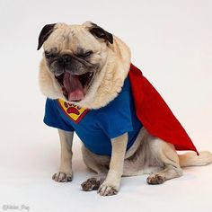 Superpug! Photo by @timmyopug Want to be featured on our Instagram? Tag your photos with #thepugdiary for your chance to be featured.