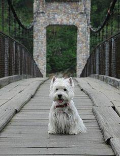 Westie on a bridge