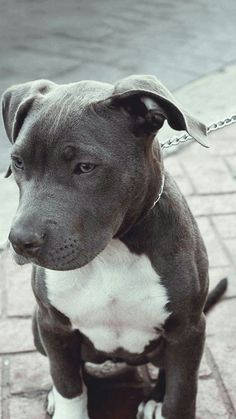 Pit Bull cute animals eyes dogs grey bull pit bullie breed Check out a some of our Featured Bully Breeds we Love! Animals And Pets, Baby Animals, Funny Animals, Cute Animals, Cute Puppies, Cute Dogs, Dogs And Puppies, Doggies, Pit Bull Puppies