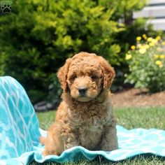 Meet Kip a handsome Mini Goldendoodle puppy that has a beautiful curly coat. Kip is vet checked, and up to date on vaccines and dewormer. Miniature Goldendoodle Puppies, Miniature Puppies, Goldendoodle Puppy For Sale, Golden Doodles, Puppies For Sale, Pennsylvania, Fur Babies, Miniatures, Dogs