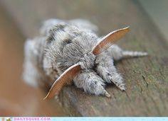 Venezuelan Poodle Moth  Fungi & Moths  Pinterest  Moth Poodle Endearing Small Moths In Bathroom Design Ideas