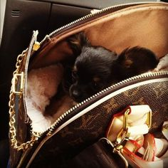 Louis Vuitton and cute chihuahua