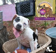 ISO  Dutchess is an adoptable Boxer, American Bulldog Dog in Largo, FL 6 Years Old ...Read more about me on @petfinder.com