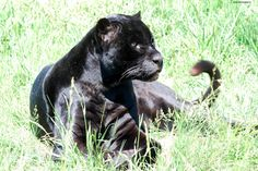 Diablo Guapo, the panther at TWS. How could you not love that face...