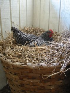 We've named the coop Chaumier de Poule ~ the Hen Cottage ~ no roosters here! Keeping Chickens, Raising Chickens, Gallus Gallus Domesticus, Chickens And Roosters, Hens And Chicks, Down On The Farm, Farms Living, Hobby Farms, Chicken Eggs