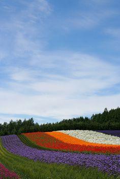 Flower Rainbow - Farm Tomita, Hokkaido, Japan