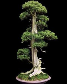 "569 Likes, 1 Comments - Esanpunk (@esanpunk) on Instagram: ""By Mohamed Nabil‎  Needle Juniper from S-Cube Uchiku-Tei Bonsai Garden, Hanyu, Japan. Jonathan M.…"""