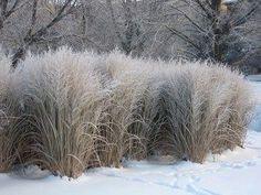 Northwind Switch Grass - GrassTalk