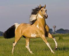 Sabino pinto PRE cruzado, Don Grego. A cruzado is a crossbred horse with sire or dam a Pura Raza Española or Puro Sangue Lusitano. With 50% pure Iberian blood, each registry has a designation for these horses. photo: Corina Plat.