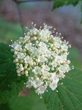 Viburnum acerifolium (Mapleleaf viburnum) | NPIN