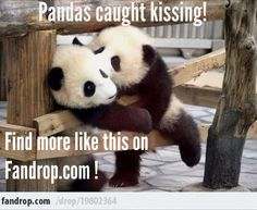"You think THIS is cute?!   You should see what's in our   ""Cutest Panda Collection""!!!   http://www.fandrop.com/collection/sally/cutest_panda_collection #pandas #animals #cute #meme #fandrop"