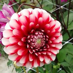 Red and White Bicolour Red And White, Flowers, Plants, Plant, Royal Icing Flowers, Flower, Florals, Floral, Planets