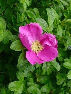 Kurtturuusu, Rosa rugosa - Puut ja pensaat - LuontoPortti