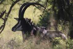 The Rare Sable antelope,  Chobe National Park, Botswana