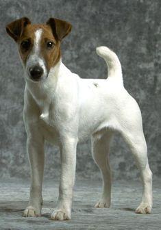 Las claves sobre el perro fox terrier de pelo liso