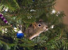 Chris wrote that when the time comes, they'll take the tree down and build Mittens an enclosure. But for now, they must be pretty tempted to leave the tree up all year round. | A Couple Saved An Injured Squirrel And Now He's Living In Their Christmas Tree