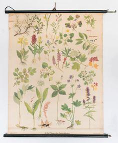 Antike Lehrtafel Lehrkarte Biologie:Die Pflanzen der Laubwaldwiese1950er/1960er in Antiquitäten & Kunst, Plakate & Kunstdrucke, Plakate | eBay