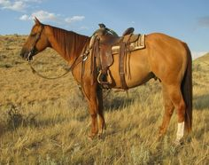 4 Year Old Red Dun Ranch Gelding for Sale - For more information click on the image or see ad # 63271 on www.RanchWorldAds.com