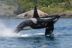 j pod orcas | ... adult male Killer Whale from J Pod, who recently returned to the area