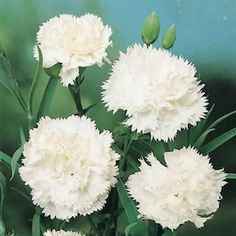 'Snow White' Carnation - seeds ordered (Dianthus caryophyllus)