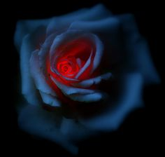 Just another image that I think shows the beautiful contrast in color. The red glow of the heart. Beautiful Rose Flowers, Exotic Flowers, Amazing Flowers, Burning Rose, Rose Wallpaper, Red Aesthetic, Blue Roses, Types Of Flowers, Backgrounds