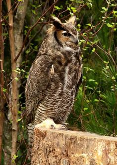 Great Horned Owl - pictured at the Boston Flower Show