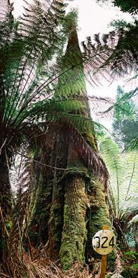 Icarus dream, Eucalyptus regnans, photo: www.gianttrees.com.au