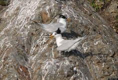 100 Most Threatened Species - Scientific Name: Sterna bernsteini  Common Name: Chinese Crested Tern   Category: Bird  Population: < 50 mature individuals  Threats To Survival: Egg collection and habitat destruction