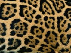 The jaguar (Panthera onca) is the largest cat in the Americas and the third-largest in the world (after the lion and tiger). At one time jaguars roamed all Patterns In Nature, Textures Patterns, Nature Pattern, Stuffed Animal Patterns, Nature Animals, Pattern Paper, Big Cats, Pictures, Leopard Spots