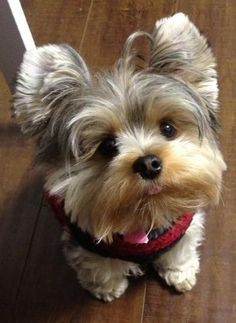 Terrier Breeds, Dog Breeds, Love Pet, I Love Dogs, Raza Yorkshire, Yorky Terrier, Yorkies, Cutest Puppy Ever, Yorkshire Terrier Puppies