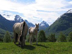 The Norwegian fjord horse in Gloppen, Nordfjord where I live.