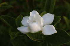 Consejos para el cuidado de las gardenias
