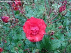 Anche una rosa può piangere...