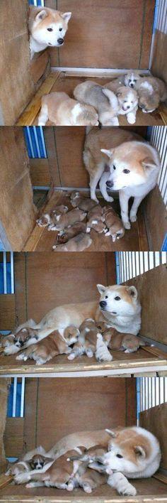 秋田犬がきなこもちに似ているとワイの中で話題に : ハムスター速報