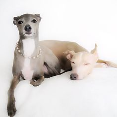 """Italian Greyhound Hope you're doing well..From your friends at phoenix dog in home dog training""""k9katelynn"""" see more about Scottsdale dog training at k9katelynn.com! Pinterest with over 21,400 followers! Google plus with over 345,000 views! You tube with over 500 videos and 60,000 views!! LinkedIn over 10,600 associates! Proudly Serving the valley for 12 plus years! now on instant gram! K9katelynn"""