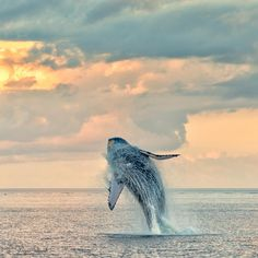It's even more beautiful to see the sunrise when you are on the ocean.  Out of nowhere a magnificent humpback whale breaches right in front of me - good thing my camera was ready for this shot.